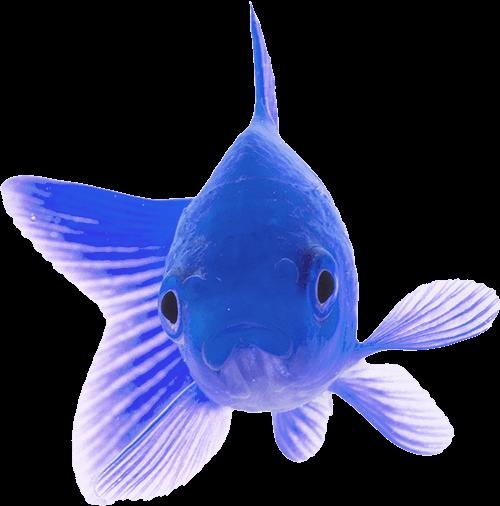 fish prime blue